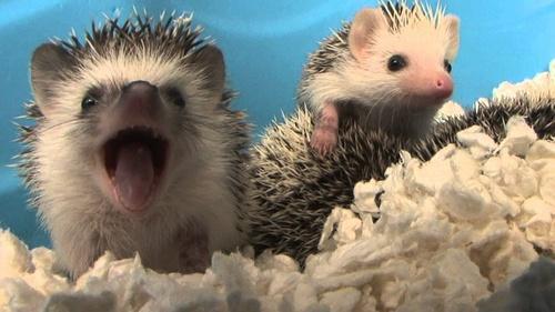 Hedgehog_Brazil.jpg