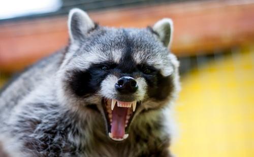 raccoon_zombie1.jpg
