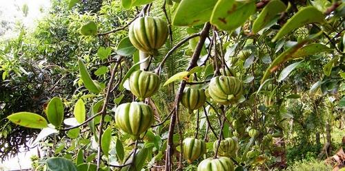 Garcinia cambogia.jpg