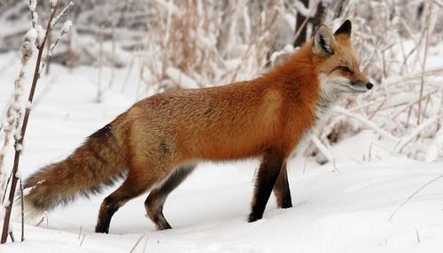 Red-fox-1.jpg
