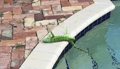 cold-iguanas-1.jpg