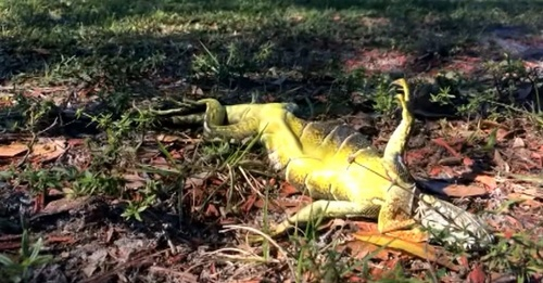 cold-iguanas-2.jpg