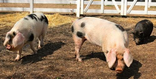 pig_farm.jpg