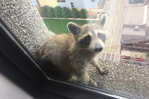 raccoon_climbs-2.jpg