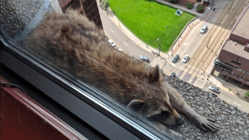 raccoon_climbs-4.jpg