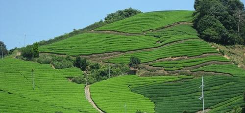 tea_farm.JPG